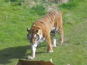 Tigers: Can we save them before it's too late?